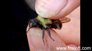 bumblebeemimic