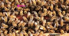 closeupbees